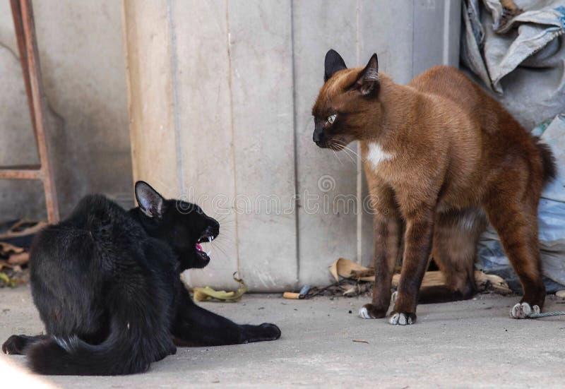 Combat de chats photo stock