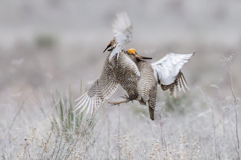 Combat de deux peu de poulets de prairie photo libre de droits