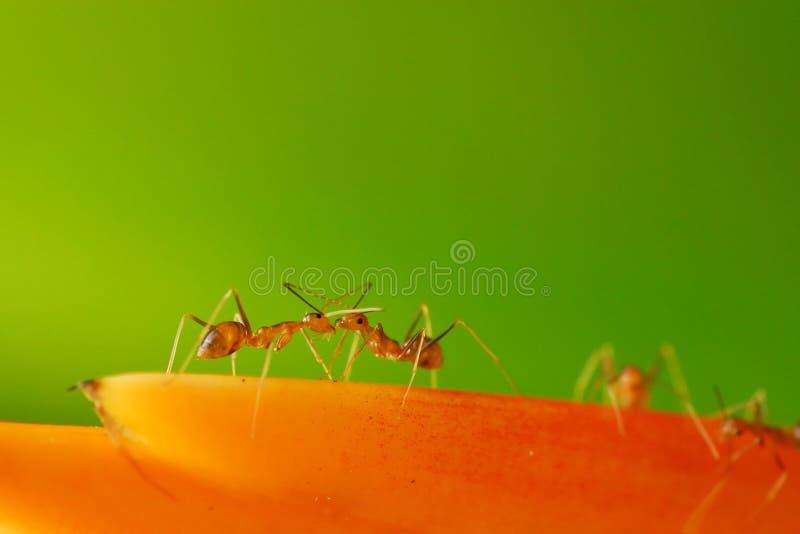 Combat de fourmis photo stock