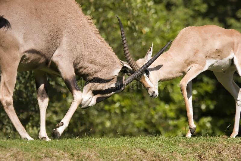 Combat de gazelle photo stock