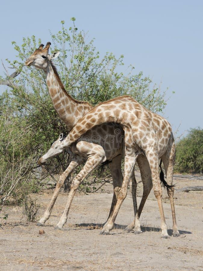 Combat de girafe image stock