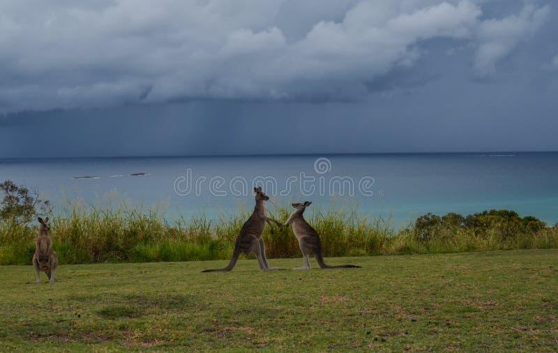 Combat de kangourou image libre de droits