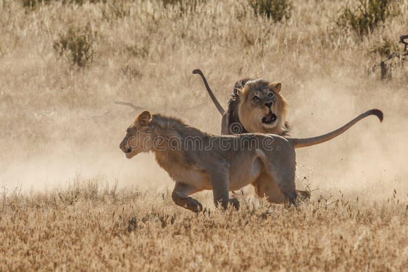 Combat de lion dans Kgalagadi image libre de droits