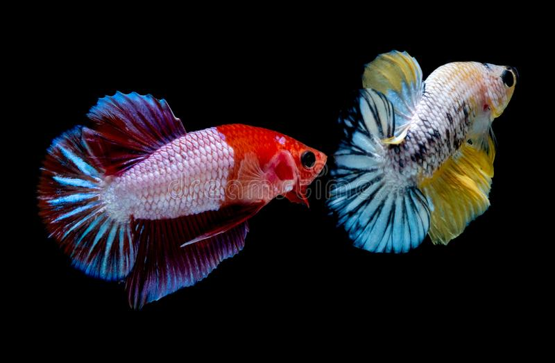 Combat de poissons de Betta dans le blackground de noir d'aquarium photo stock