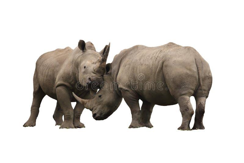 Combat de rhinocéros d'isolement sur un fond blanc image stock