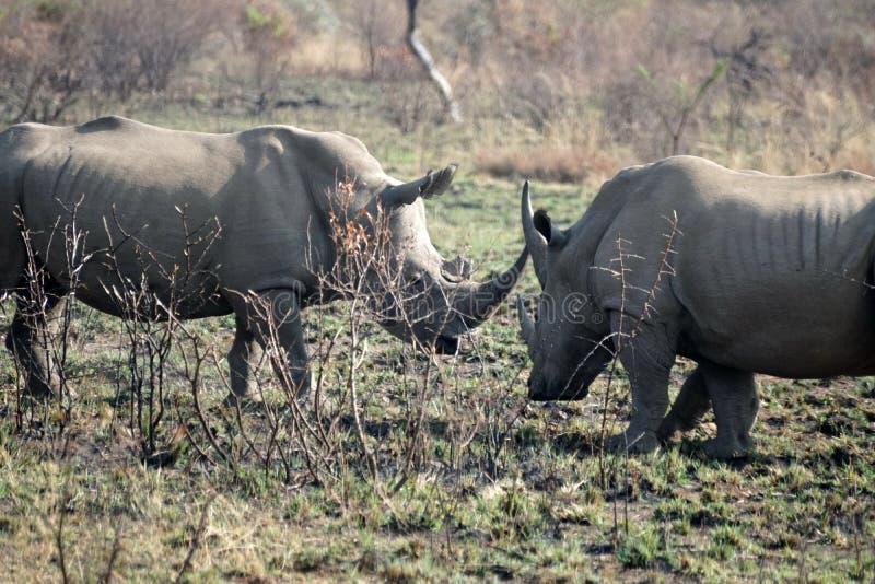 Combat de taureaux de rhinocéros en parc national de Pilanesberg image libre de droits