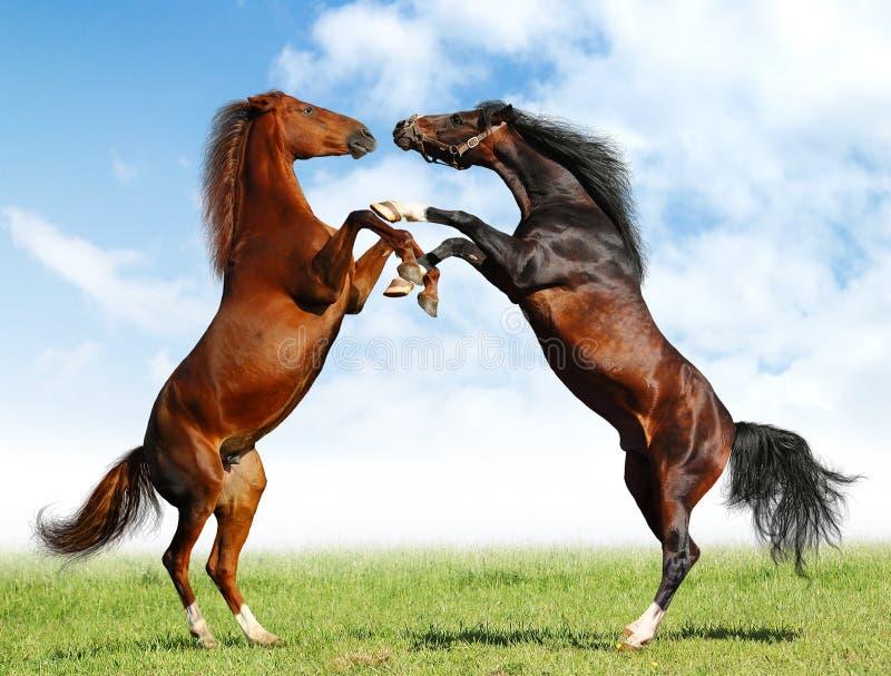 Combat des chevaux
