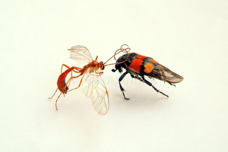 Combat des insectes image libre de droits