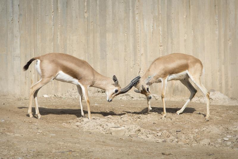 Combat entre deux gazelles de mâle de Dorcas photographie stock libre de droits