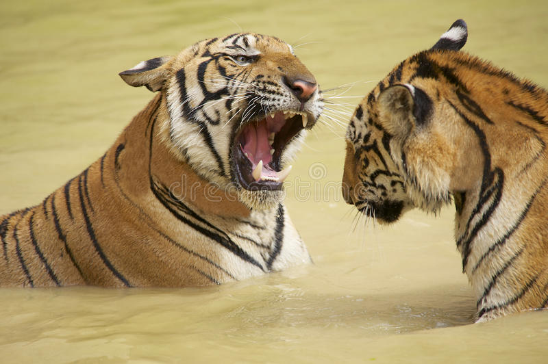 Combat indochinois adulte de tigres dans l'eau photos libres de droits