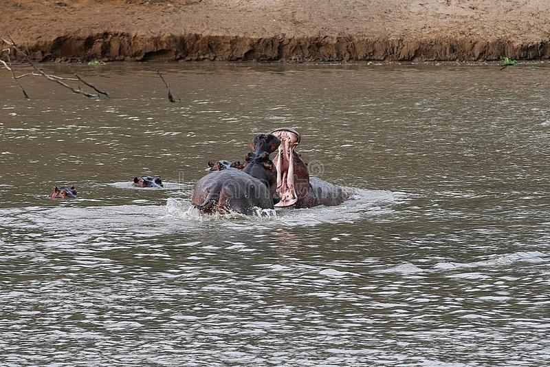 Combate de dois hipopótamos masculinos, Luangwa sul, Zambie fotos de stock royalty free