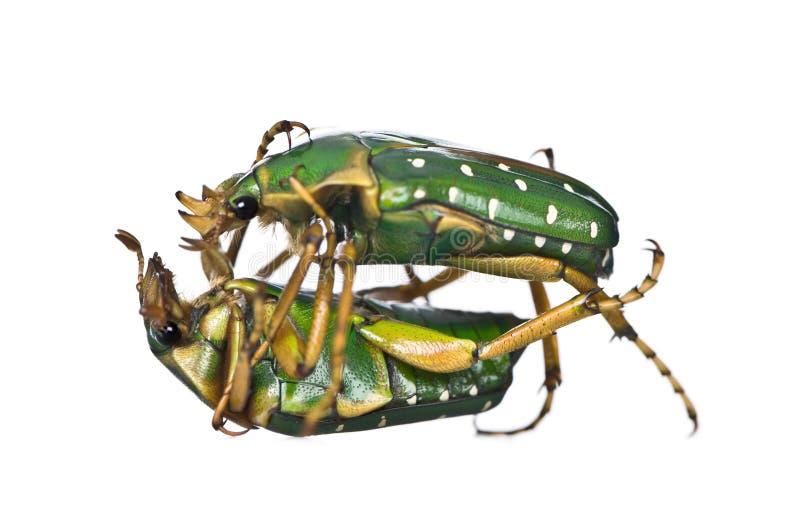 Combattimento degli scarabei del fiore dell'Africa orientale immagine stock libera da diritti