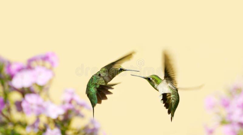 Combattimento dei colibrì. fotografia stock libera da diritti