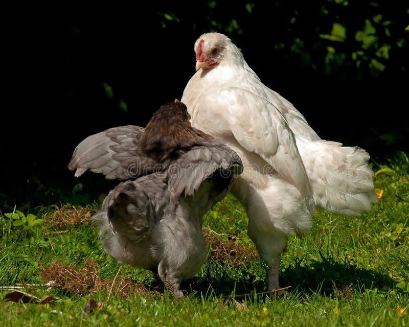 Combattimento dei galli della razza di due mesi Hedemora dalla Svezia fotografia stock libera da diritti