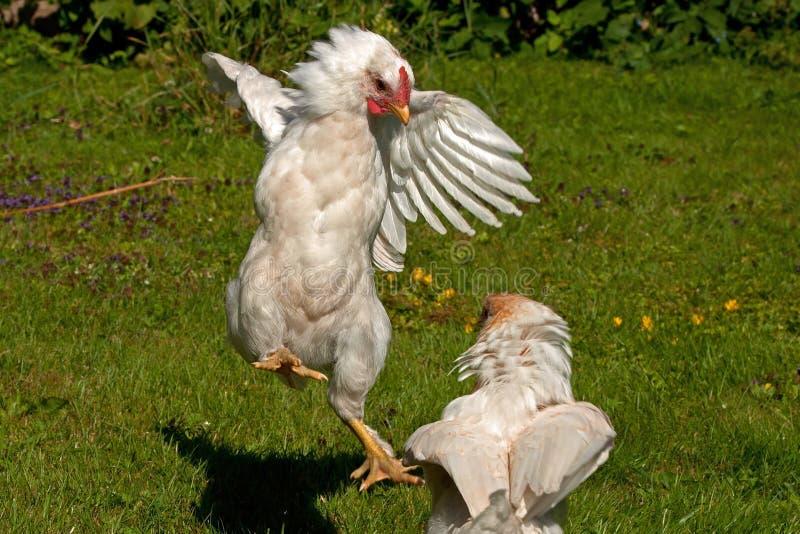 Combattimento dei galli della razza di due mesi Hedemora dalla Svezia fotografie stock libere da diritti