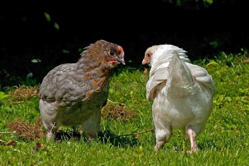 Combattimento dei galli della razza di due mesi Hedemora dalla Svezia fotografia stock