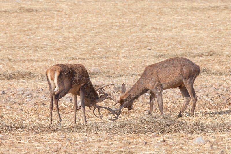 Combattimento dei maschi dei cervi nobili immagini stock libere da diritti
