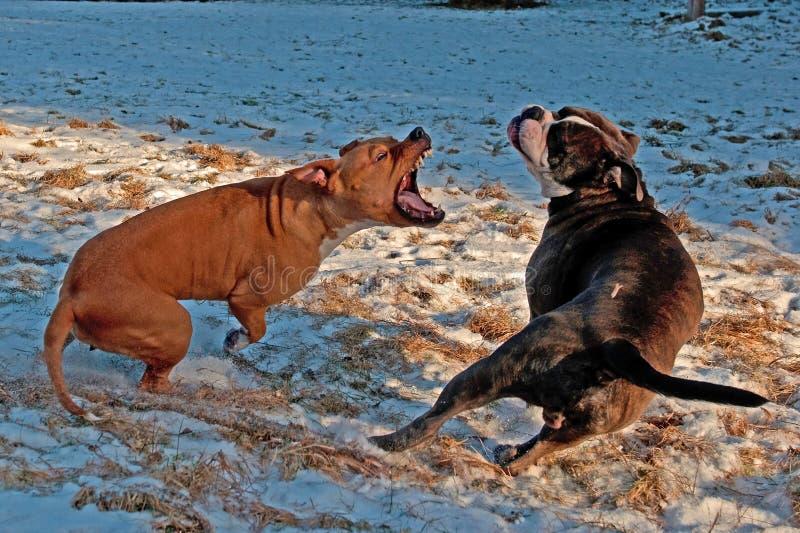 Combattimento del gioco del pitbull con il bulldog di inglese di Olde immagini stock libere da diritti