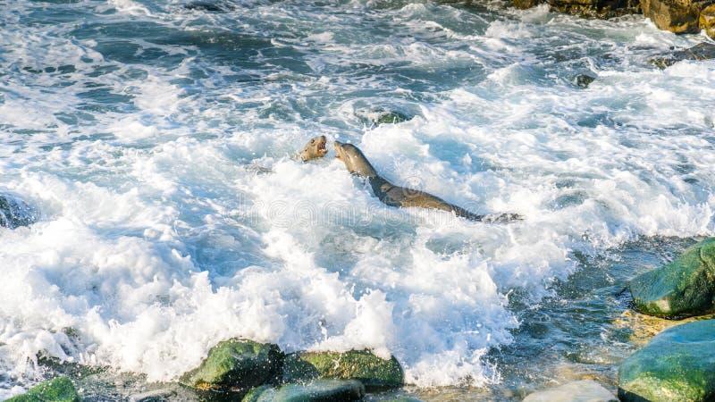 Combattimento del leone marino vicino alla riva fotografia stock libera da diritti