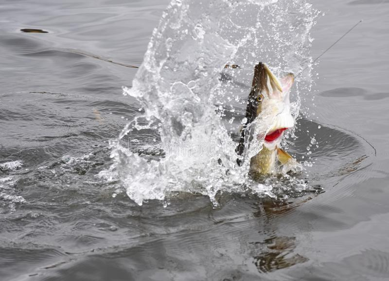 Combattimento del luccio e saltare agganciati dell'acqua fotografia stock libera da diritti
