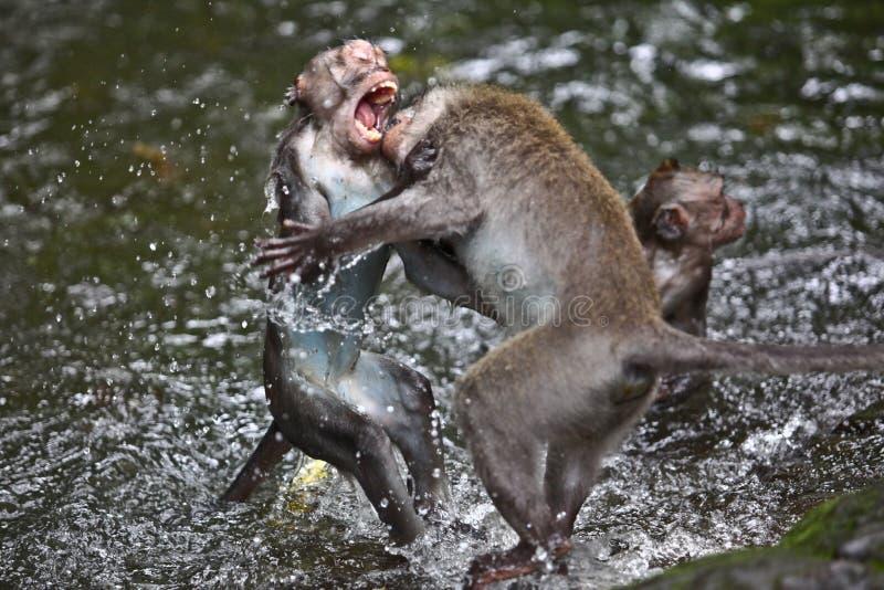 Combattimento delle scimmie fotografia stock libera da diritti