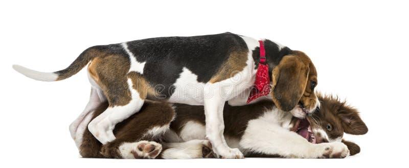 Combattimento di border collie dei cuccioli, vecchio 15 settimane fotografie stock