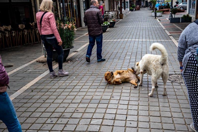 Combattimento di cani randagi fra la gente, Giannina, Grecia immagine stock