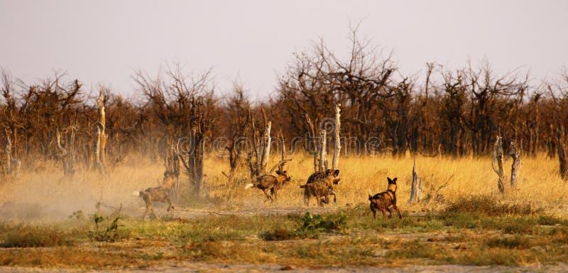 Combattimento di cani selvaggi & inseguire fuori dalle iene macchiate fotografia stock