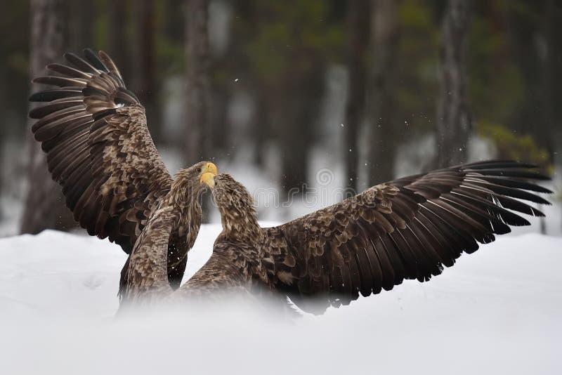 Combattimento di Eagles Lotta di Eagle fotografia stock