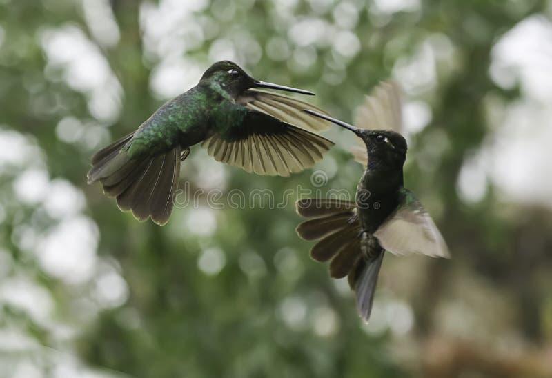 Combattimento magnifico dei colibrì & x28; Fulgens& x29 di Eugenes; fotografie stock