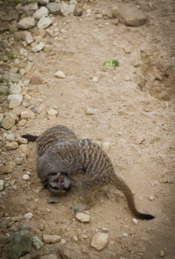 Combattimento Meerkats fotografia stock