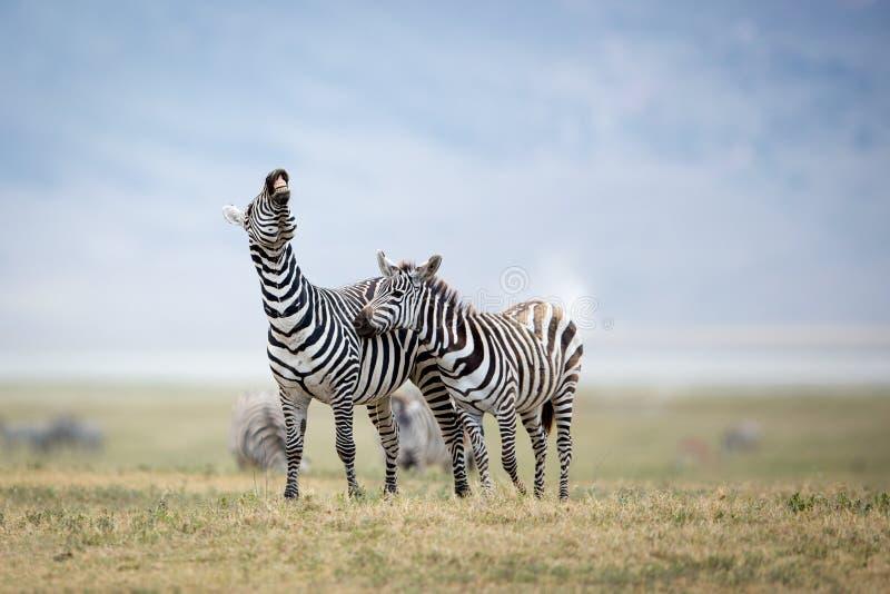 Combattimento nel cratere di Ngorongoro, Tanzania della zebra di due pianure immagini stock libere da diritti