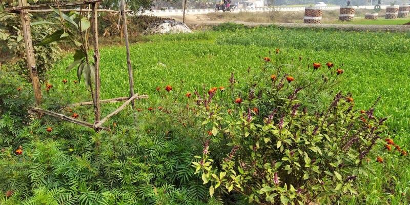 Combinatie van goede bloementeelt en bomen in Mohan Nagar Azamgarh U P India Deze bloem heeft veel glimlach stock foto's