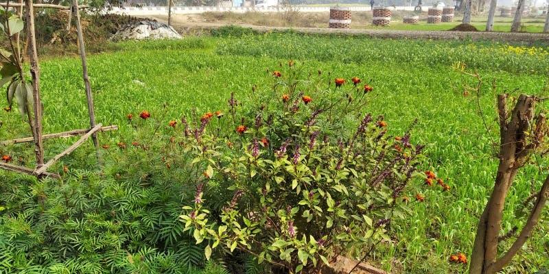 Combinatie van goede bloementeelt en bomen in Mohan Nagar Azamgarh U P India Deze bloem heeft veel glimlach royalty-vrije stock fotografie
