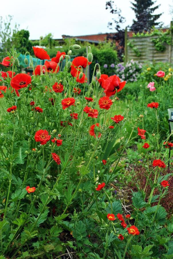 Red poppies and Geum in the garden royalty free stock photography
