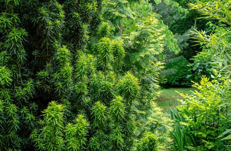 Combinazione di bella colonna del taxus baccata Fastigiata Aurea del tasso sul fondo delle piante sempreverdi e bambù grazioso fotografia stock libera da diritti