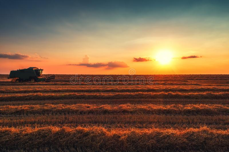 Combine harvester machine working in a wheat field at sunset stock images