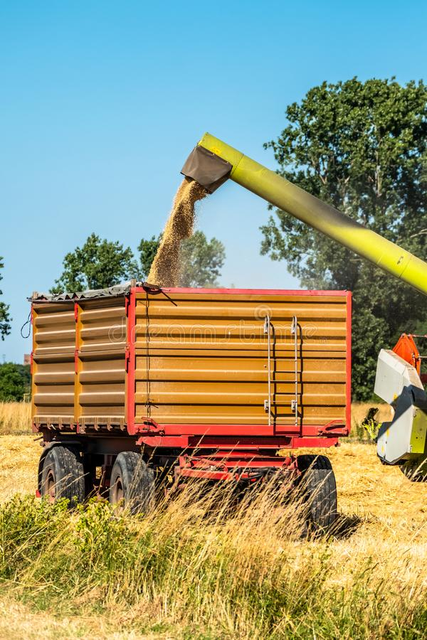 Combine harvester reaping wheat. In the summer royalty free stock photography