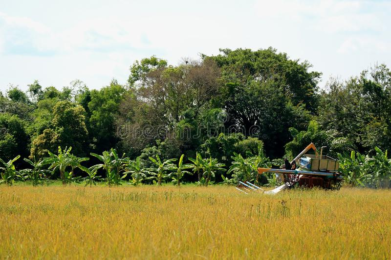 Combine Machine Working in the Golden Paddy Field, the Harvest Season in Thailand. Tropical Plant stock photo