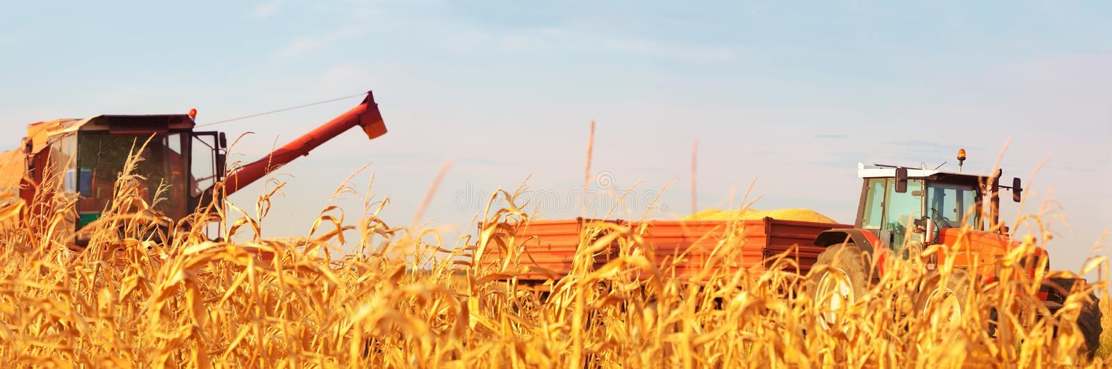Combine Operator Harvesting Corn on the Field in Sunny Day royalty free stock image