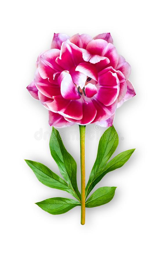 Combined unusual tulip flower. Bright pink tulip with peony leaves. Art object on a white background royalty free stock photo