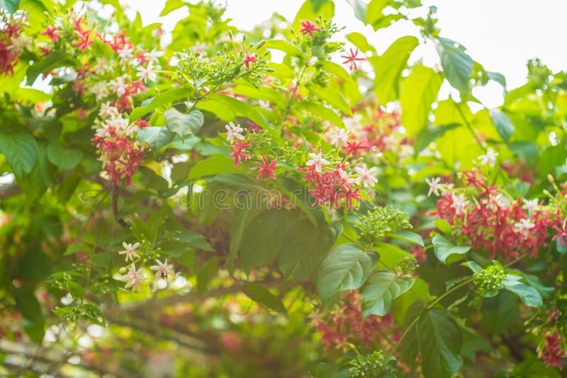 Combretum indicum仰光在自然背景中开花瓣五颜六色的美丽的花 库存照片