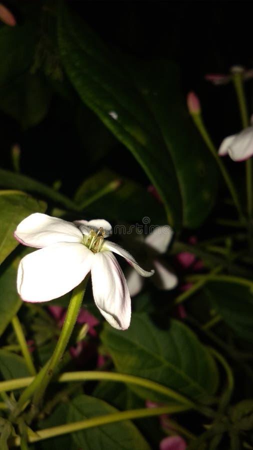 Combretums-indicum oder chinesisches Geißblatt oder Rangun-Kriechpflanze orMadhumalti lizenzfreie stockfotografie