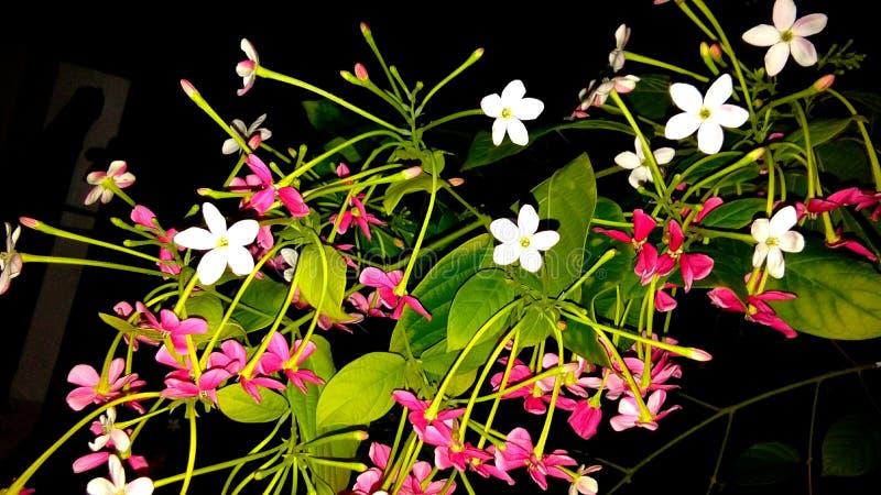 Combretums-indicum oder chinesisches Geißblatt oder Rangun-Kriechpflanze orMadhumalti stockfotografie