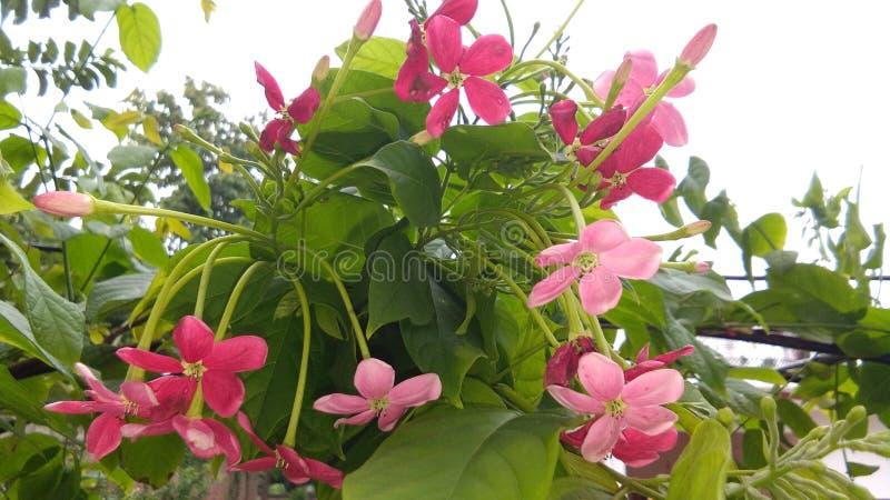 Combretums-indicum oder chinesisches Geißblatt oder Rangun-Kriechpflanze orMadhumalti lizenzfreie stockfotos