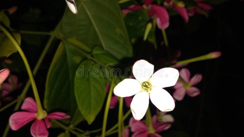 Combretums-indicum oder chinesisches Geißblatt oder Rangun-Kriechpflanze orMadhumalti lizenzfreies stockbild