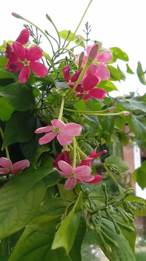 Combretums-indicum oder chinesisches Geißblatt oder Rangun-Kriechpflanze orMadhumalti stockbild