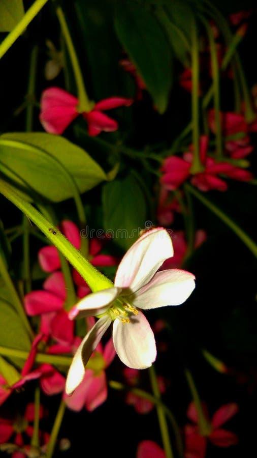 Combretums-indicum oder chinesisches Geißblatt oder Rangun-Kriechpflanze orMadhumalti stockfotos