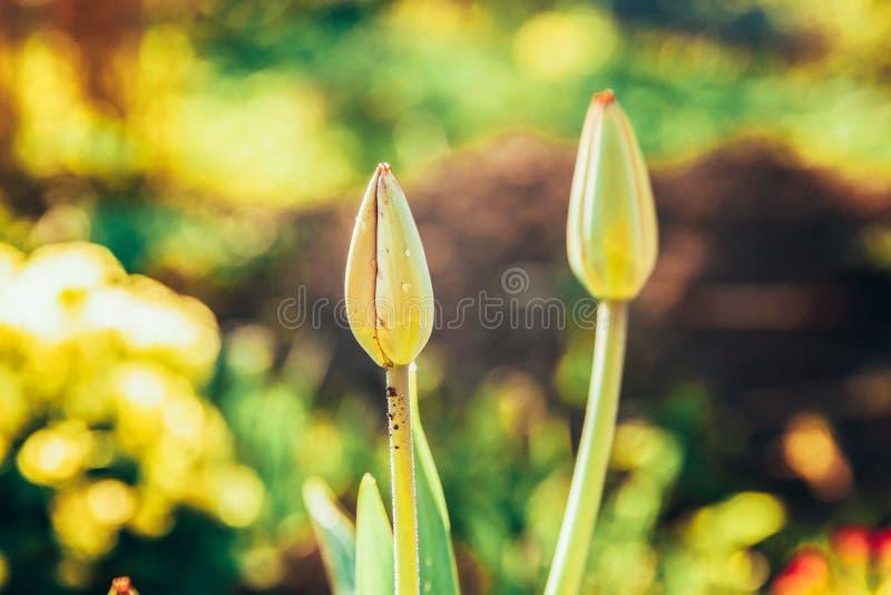 Começo da tulipa da flor a florescer botões Fundo de florescência mola ou do jardim ou do parque floral natural inspirado do verã imagens de stock royalty free