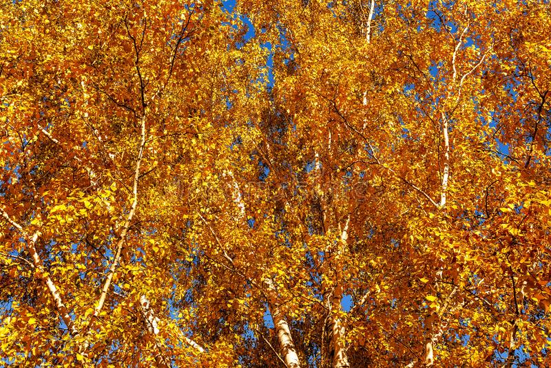 começo das folhas amarelando no parque do outono, fotografia de stock royalty free